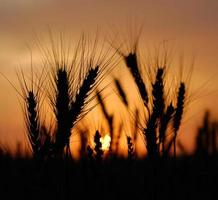 tarwe bij zonsondergang