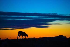 koe bij zonsondergang foto
