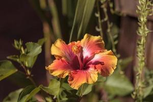 zonsondergang hibiscus bloem foto