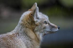 snelle vos foto