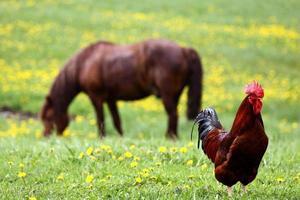 haan en het paard foto