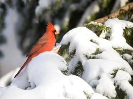 noordelijke kardinaal na sneeuwstorm foto