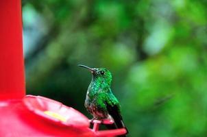 kolibrie die de omgeving observeert