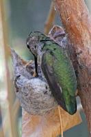 de vrouwelijke kolibrie van Anna voedt een kuiken foto