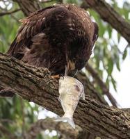 onvolwassen kale adelaar die lunch eet