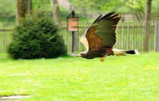 vlucht van de adelaar foto