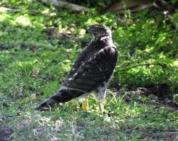 cooper's hawk (accipiter cooperii) foto