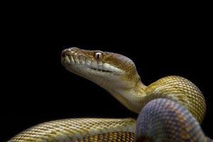molukse python / morelia clastolepis foto