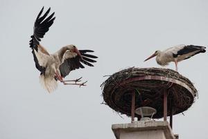 witte ooievaar vliegen foto