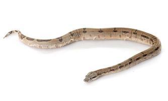 jonge boa constrictor foto