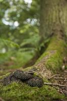 opteller - vipera berus foto