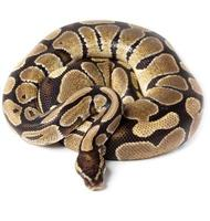 koninklijk, bal python foto