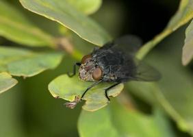 zwarte vlieg op blad foto