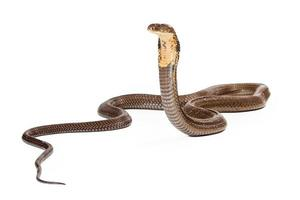 king cobra snake op zoek naar de zijkant