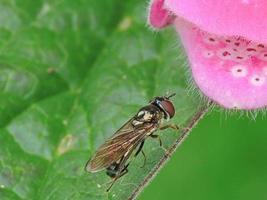 zweven vliegen op vingerhoedskruidbloesem foto