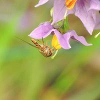 marmelade zweven vliegen in bloei foto