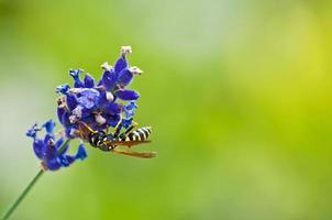 bloemvlieg op een lavendel foto