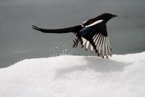 ekster die uit de sneeuw vliegt
