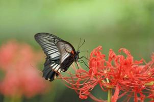 zwaluwstaartvlinder van rode spinlelie foto