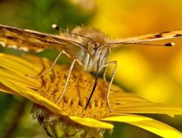 geschilderde damevlinder die nectar zuigt uit een bloem foto