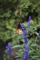 vlinder - monarch foto