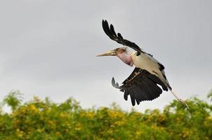 maraboe ooievaar tijdens de vlucht foto