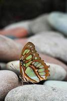 malachiet vlinder foto