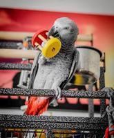 grijze papegaai foto