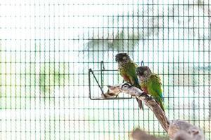 twee kleurrijk geschilderde conure foto
