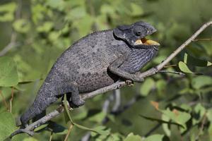 lappenchamaeleon, chamaeleo dilepis, kameleon met klephals