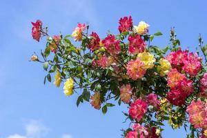 tak met rozen op een achtergrond van blauwe hemel foto