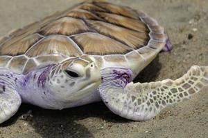 groene schildpad, thailand foto