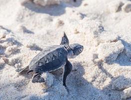 baby groene zeeschildpad foto