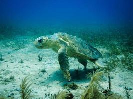 onechte zeeschildpad die op koraalrif zwemt foto