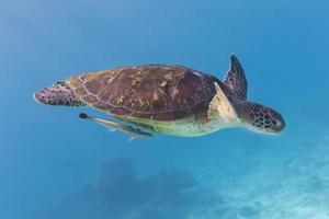 groene schildpad (chelonia mydas) op similan eiland, thailand