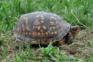 doosschildpad die net uit zijn schelp komt