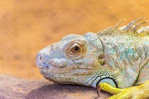 bebaarde draak pogona vitticeps foto