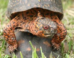 parende mannelijke doosschildpad