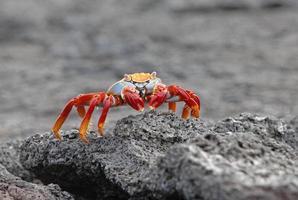 sally lightfoot crab, galapagos islands, ecuador foto