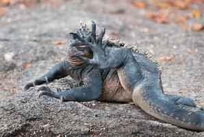 galapagos zeeleguaan die zijn voet likt. foto
