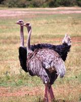 struisvogels foto