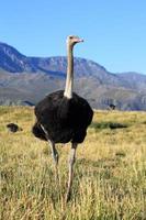 struisvogel- en karoo-bergen foto