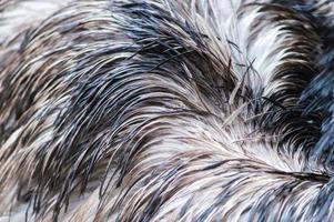 struisvogelveren achtergrond. foto