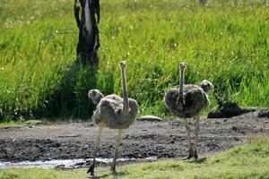 nieuwsgierige struisvogels foto