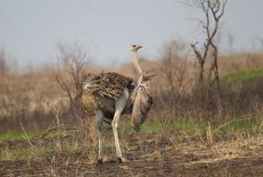 gemeenschappelijke struisvogel in kruger nationaal park foto