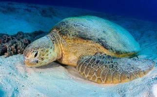 Soepschildpad rust op een zanderige zeebodem
