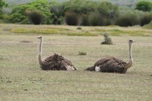 een paar struisvogels in natuurgebied de Hoop foto