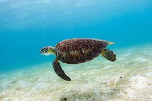 karetschildpad zeeschildpad