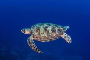 groene schildpad die in diep, blauw water zwemt foto