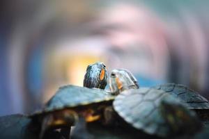 schildpad koppels foto